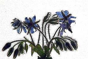 """Blue Borage Bouquet"""
